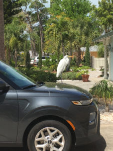 A picture of an ibis making himself at home on my car