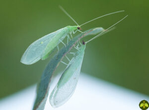 A picture of a Green Lacewing fly