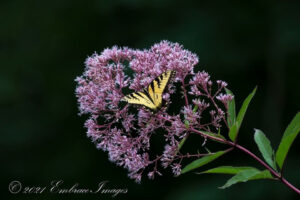 A picture of a butterfly on a Joe Pye weed