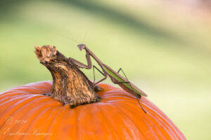A picture of a Praying Mantis on a pumpkin
